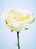 A white rose (close-up)