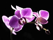 Orchids against a black background