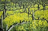Biologisch-dynamischer Weinbau, Westhofen, Deutschland