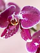 Violette Orchideen