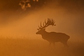 A stag in a clearing in the mist