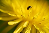 Dandelion flower with a beetle (close up)