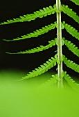 A fern leaf