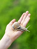 Child's hand holding a snail