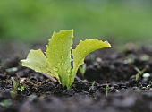 A young vegetable plant in the ground (close-up)