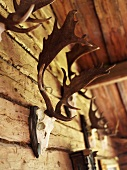 Assorted racks of antlers on the wall of a wooden hut