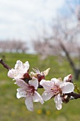 Close Up of a Blossoming Peach Tree Branch
