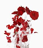 Rote Rosenblüten mit Wassersplash