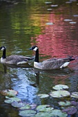 Canadian Geese Swimming in a Pond; Lily Pads