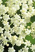 Elder flowers (close-up)