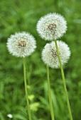 Dandelion clocks in a field