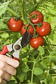 Ripe tomatoes being cut from the vine