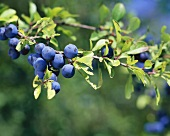 Damsons on the tree
