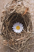 Marguerite in an Easter nest (overhead view)