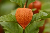 Chinese lantern on the plant (close-up)