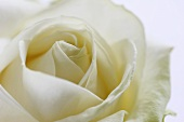 White rose (Athena)