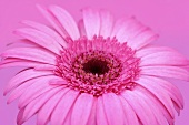 Eine Gerbera vor rosa Hintergrund