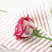 Pink rose on striped fabric