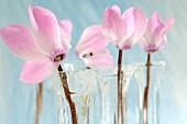 Rosafarbene Alpenveilchen in Glasvasen