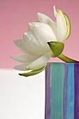 weiße Seerose in gestreifter Keramikvase