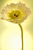 Eine weisse Mohnblume