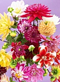 Mixed dahlias
