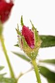 A red rosebud