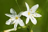 Graslilien (Anthericum)