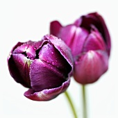 Queen of Night tulips with dew drops