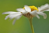 A camomile flower (close-up)