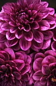 Three purple dahlias