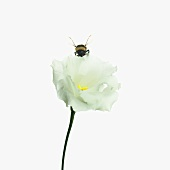 Bumble-bee on lisianthus flower