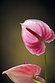 Pink flamingo lilies