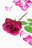 Purple rose with petals