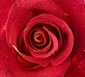 Rote Rose mit Tautropfen (Close Up)