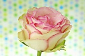 Pink rose against spotted background