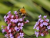 Verbena bonariensis with bee