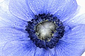 Blue anemone (close-up)