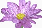 Lila Blume mit Wassertropfen