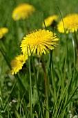 Dandelions flowering in grass