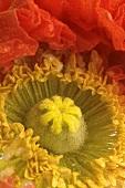 Poppy, close-up