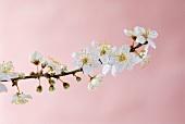 Spray of plum blossom