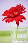 Red gerbera in glass of water