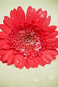 Red gerbera with drops of water