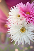 Bunch of white and pink asters