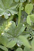 Frauenmantel-Blätter mit Wassertropfen im Gemüsebeet