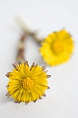 Two coltsfoot flowers