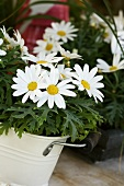 Marguerites in white bucket