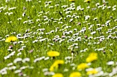 Dandelions and daisies in a pasture