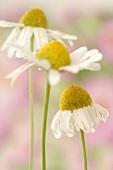 Chamomile flowers (close-up)